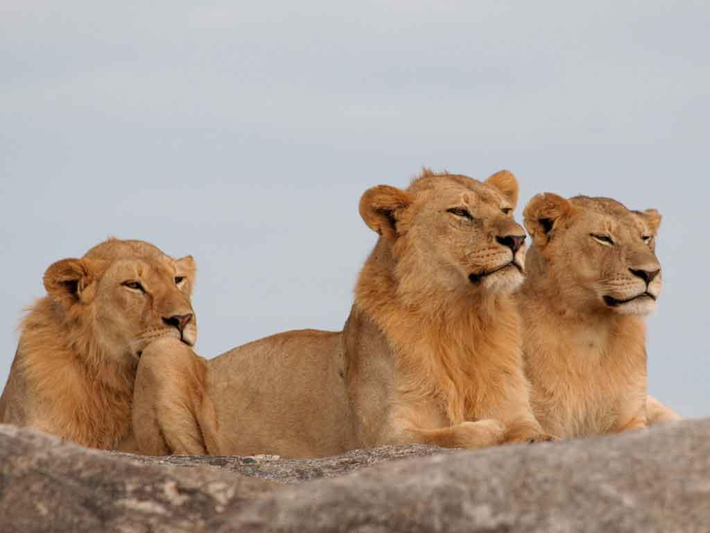 K - Lion Kopjes