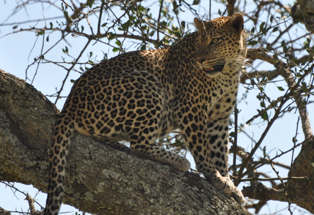 Leopard Pause