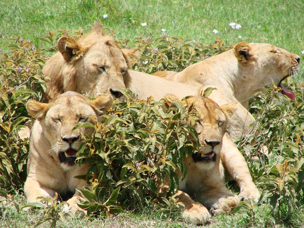 Lion Bush