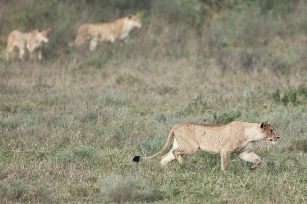 Lion Hunt 1