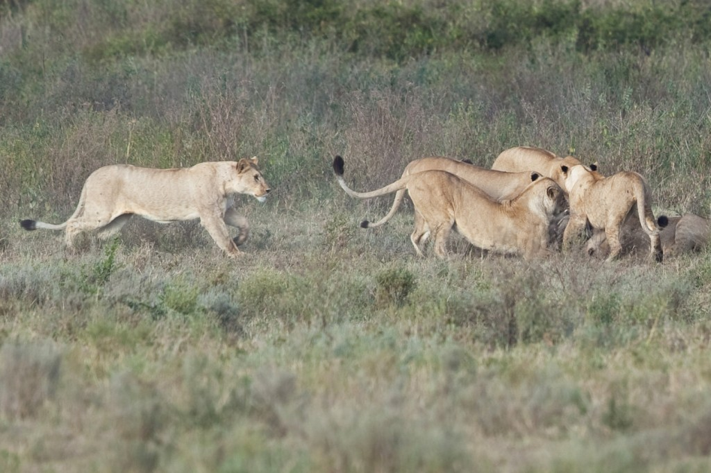 Lion Hunt 2