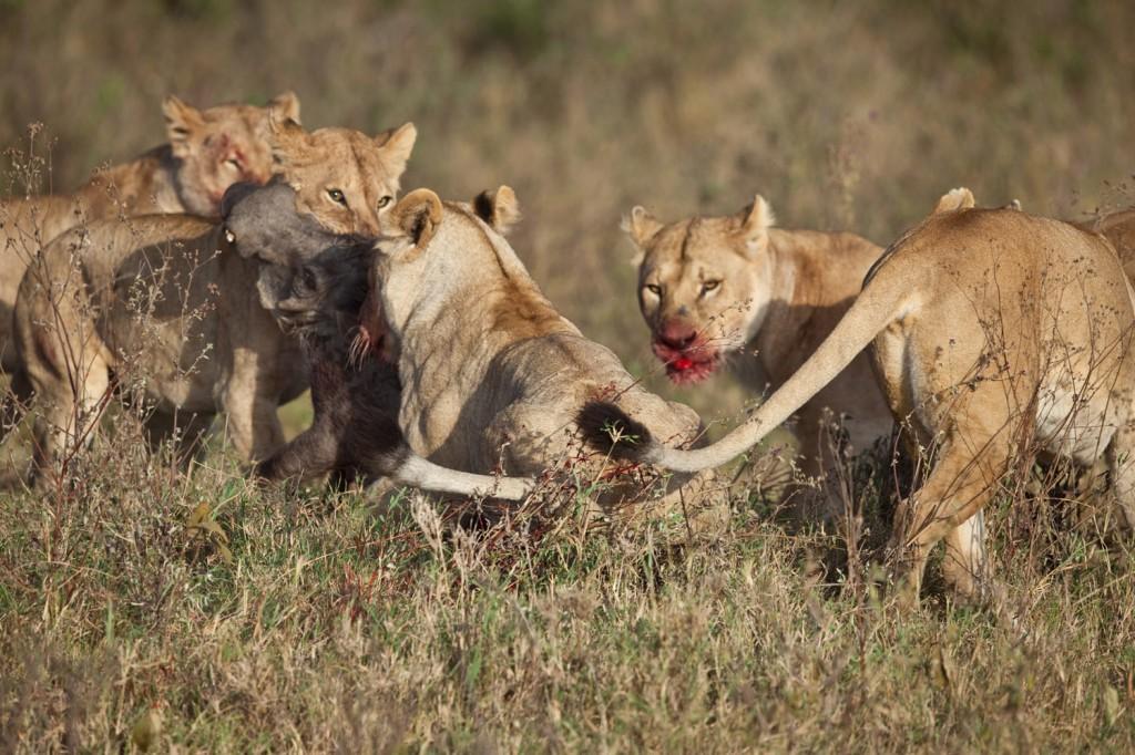 Lion Hunt 3