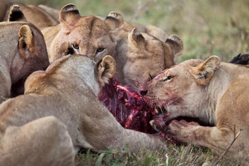 Lion Hunt 4