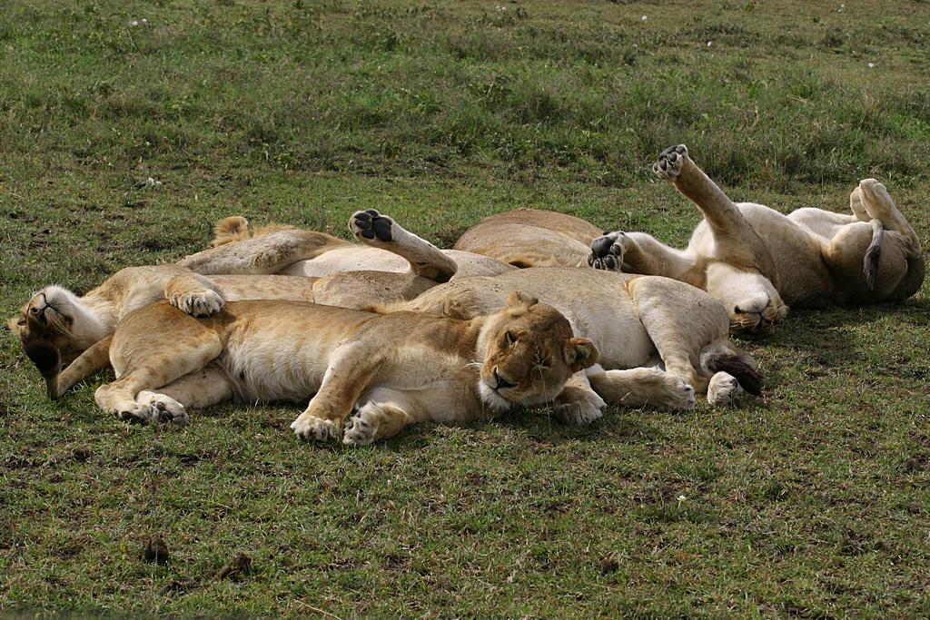 Lion Pile