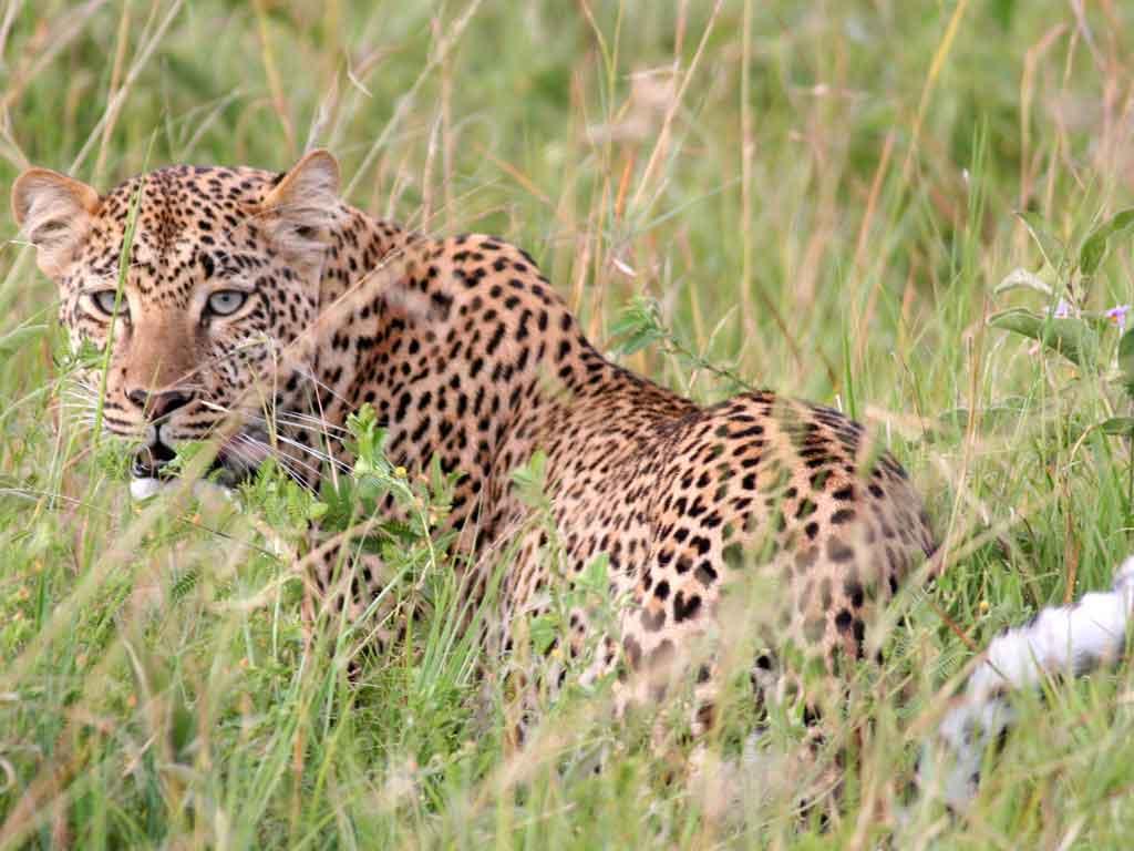 M -Leopard at Lobo