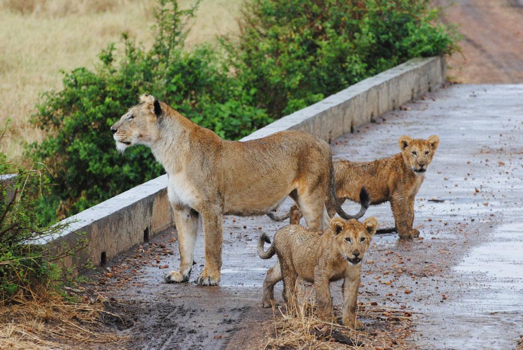 Mama-&-Cubs