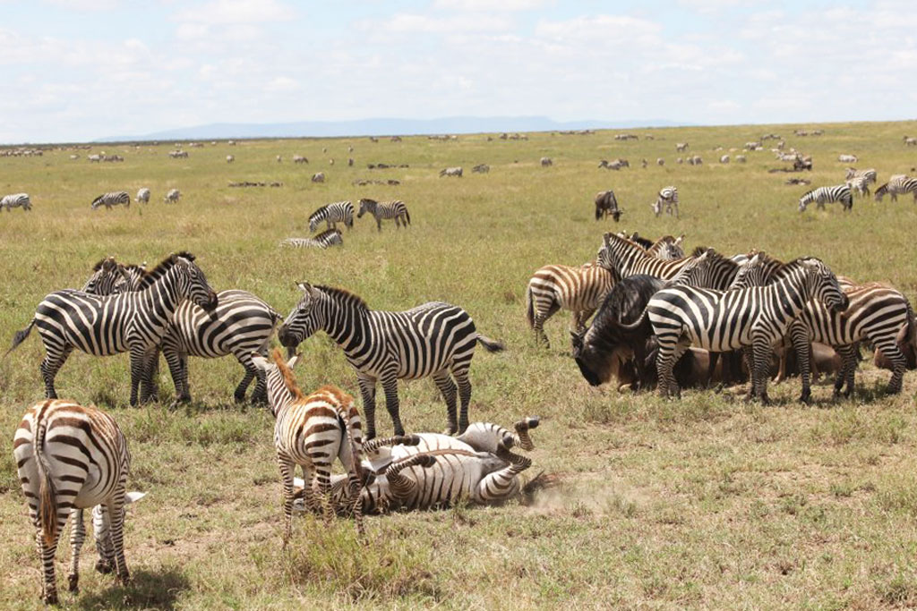 Mostly Zebras