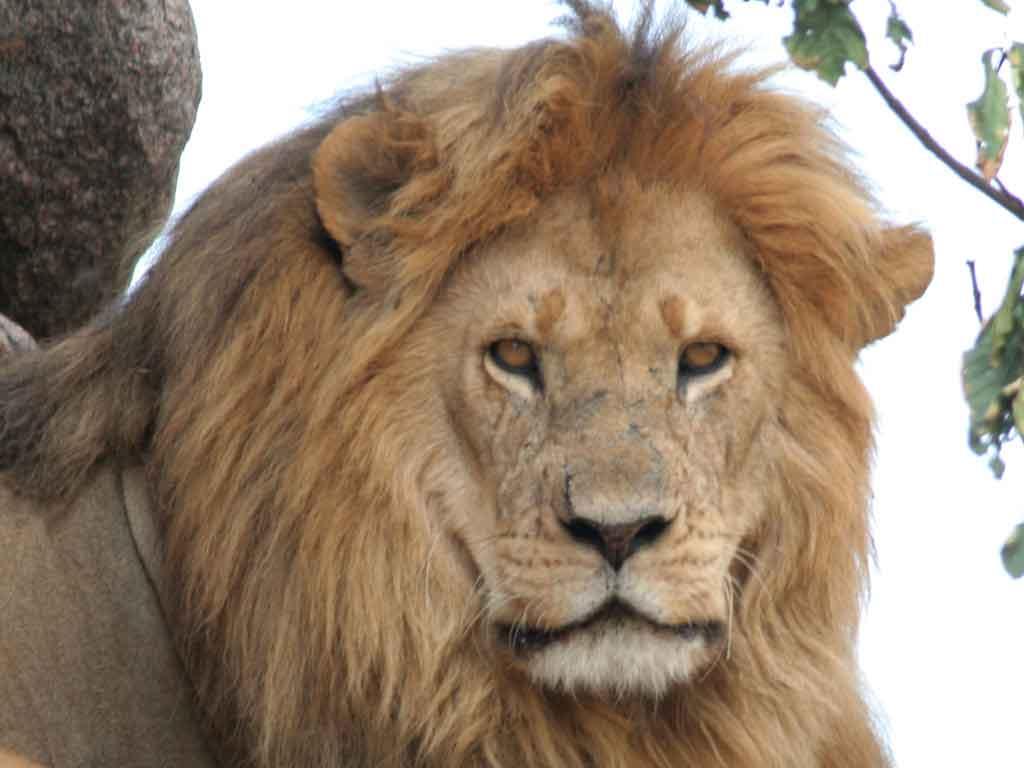 N -Male Lion
