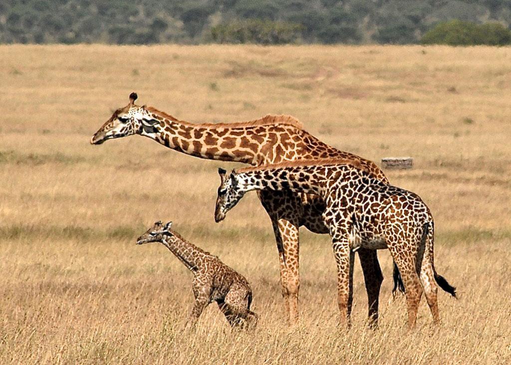 Newborn-Giraffe