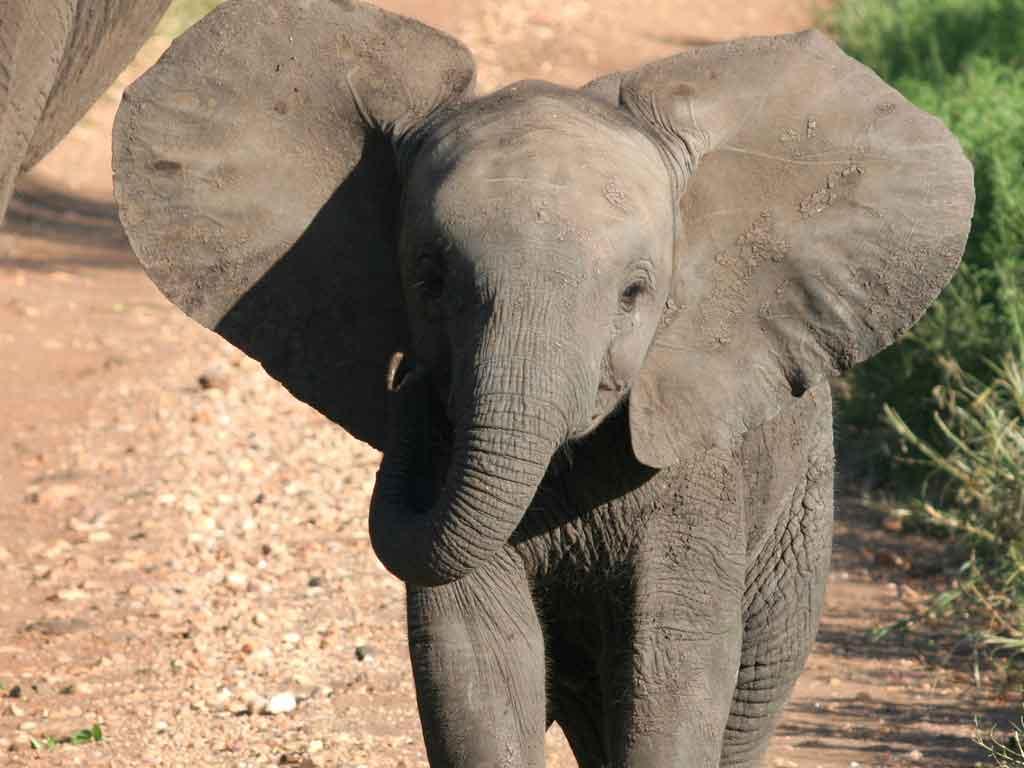 P -Baby Elephant