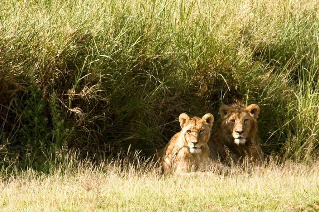 Romancing Lions