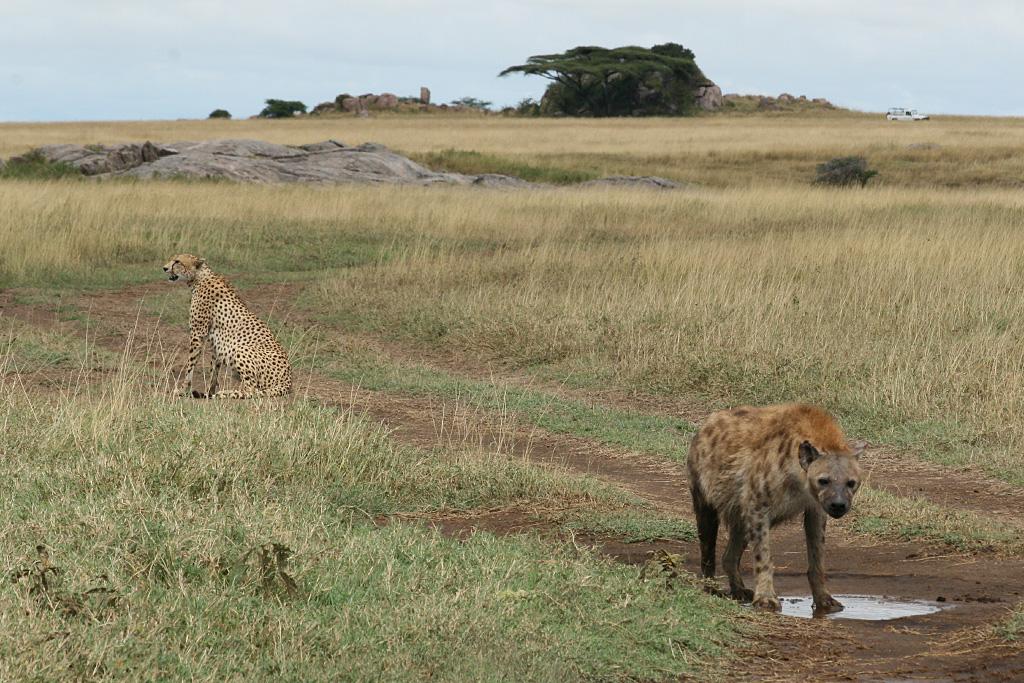 Serengeti Stand-Off