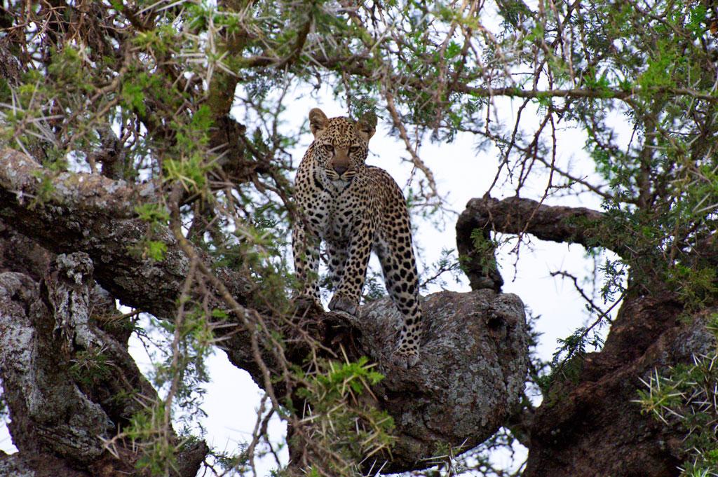 The-Elusive-Leopard