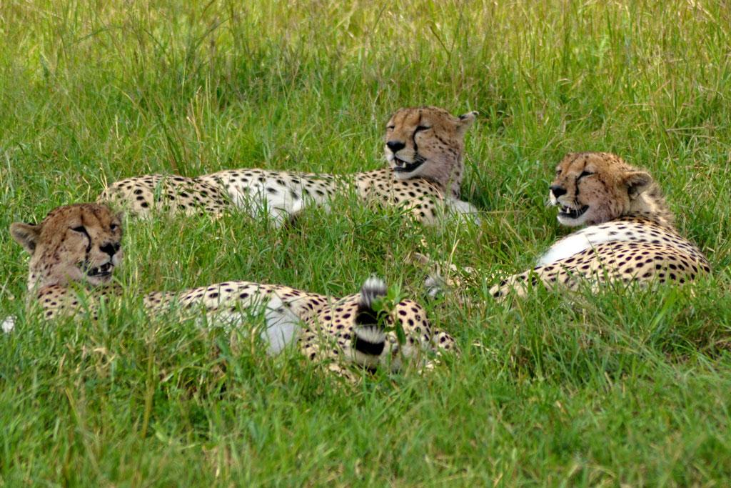 Three-Cheetahs