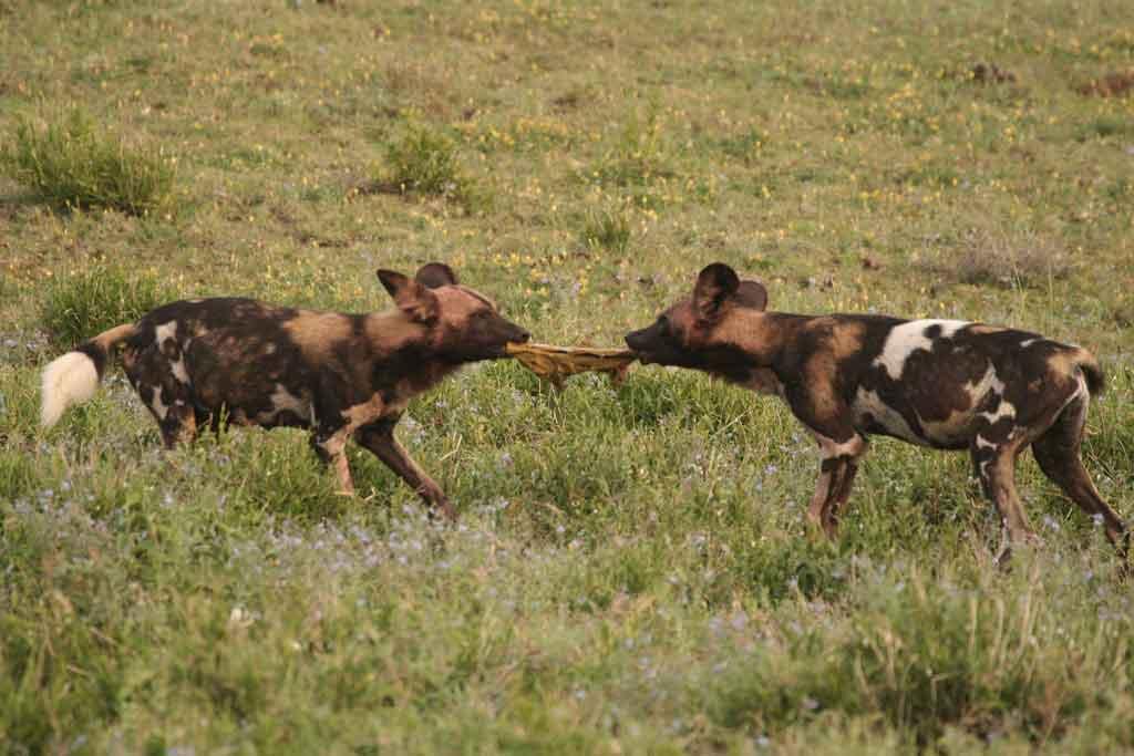 Wild Dog Tug-of-War