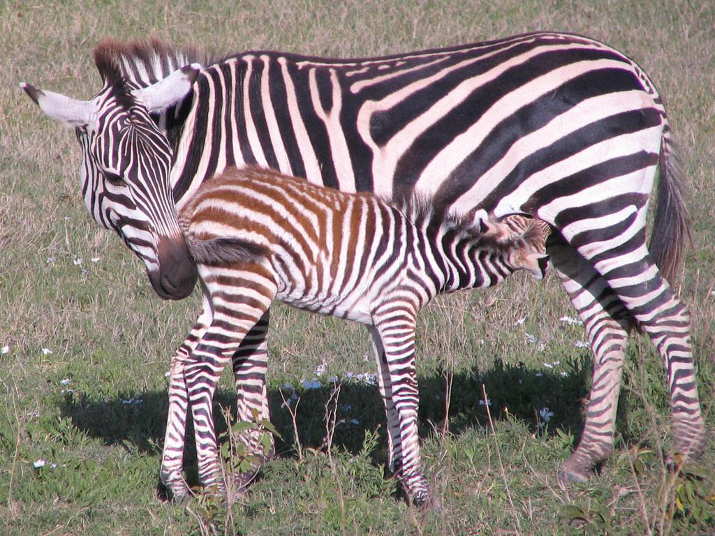 Zebra-Foal-Nursing