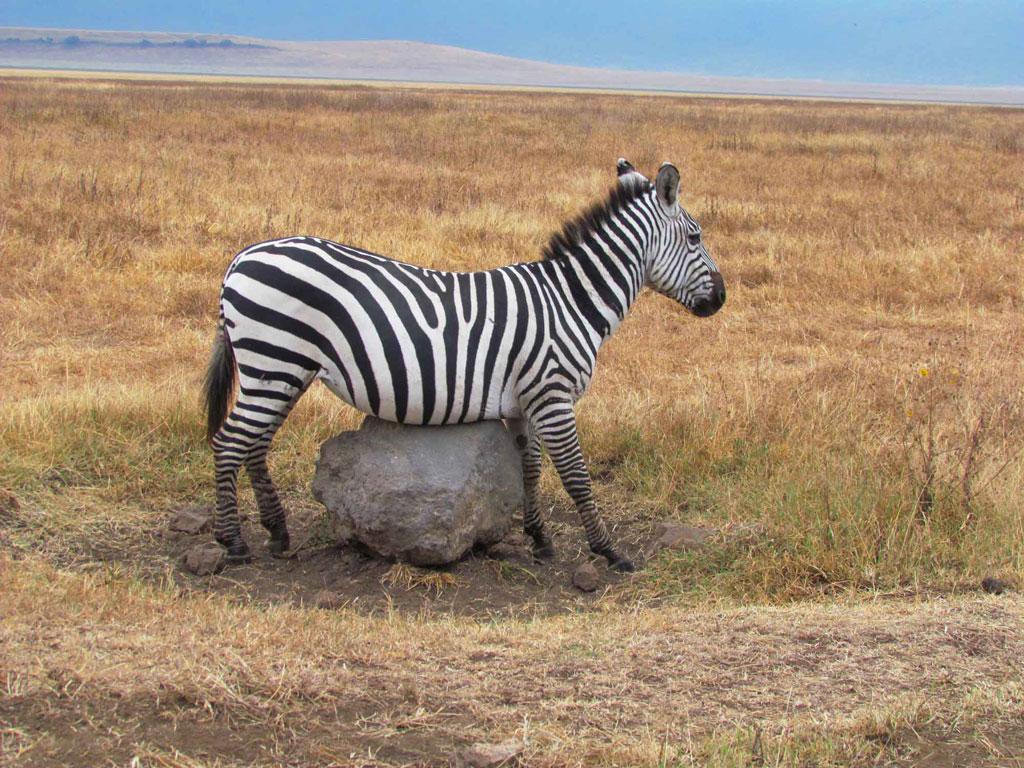 Zebra-itch