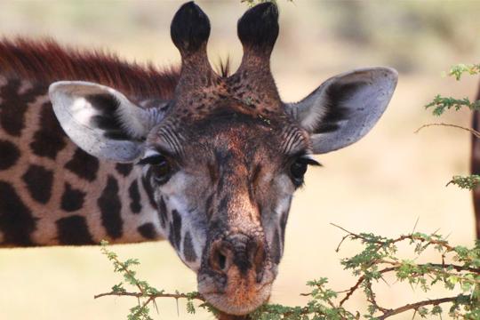 Burchill_0003_Giraffe