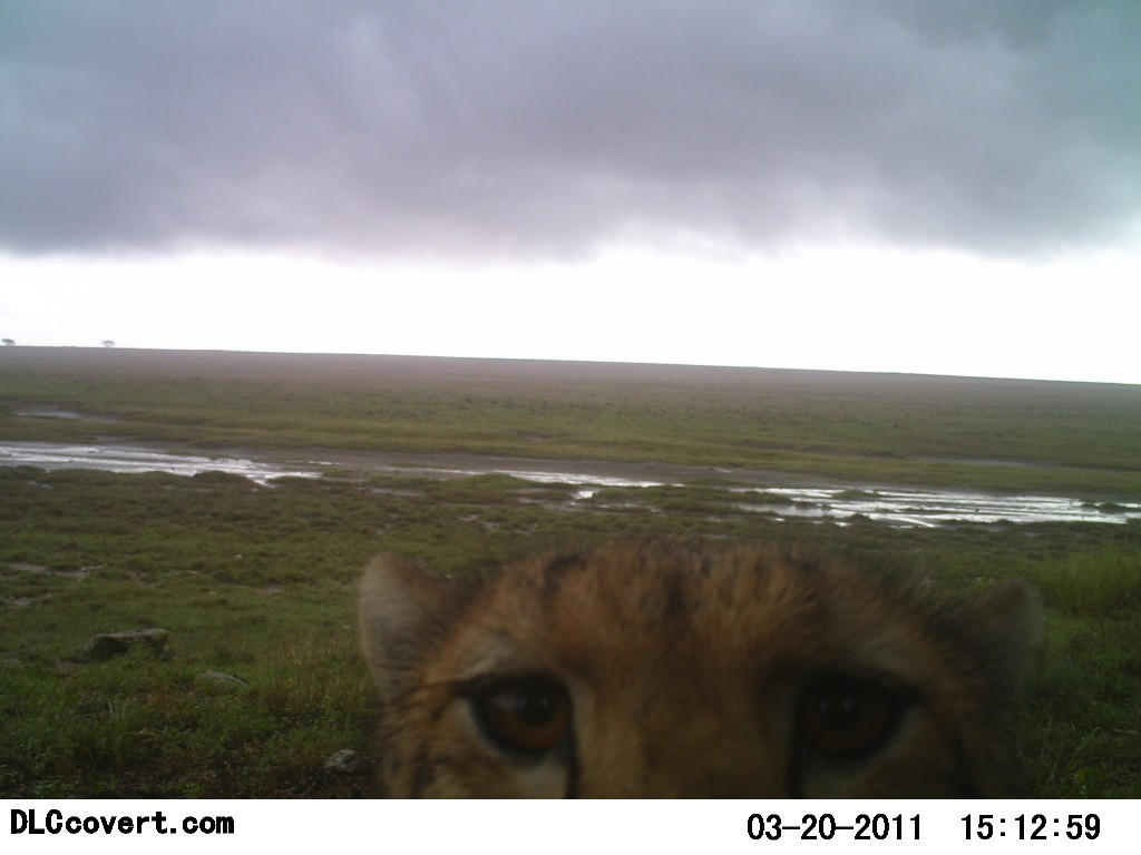 Curious cheetah peers into lens of hidden camera
