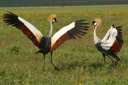 African Crowed Crane