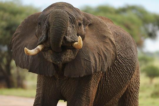Safari Photo - Bull Elephant