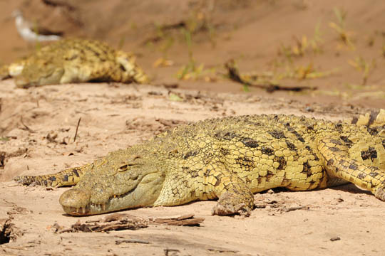 Safari Photo - Two Crocodiles