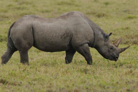 Safari Photo - Black Rhino
