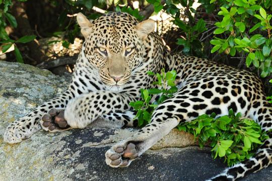 Amazing Safari Photo - Leopard
