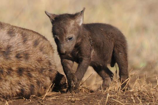 Safari Photo - Baby Spotted Hyena
