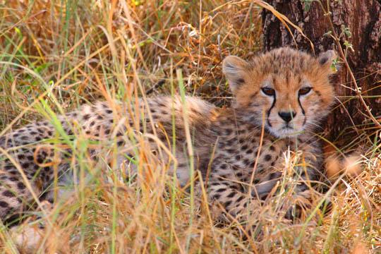 Young Cheetah In Tall Grass - Serengeti
