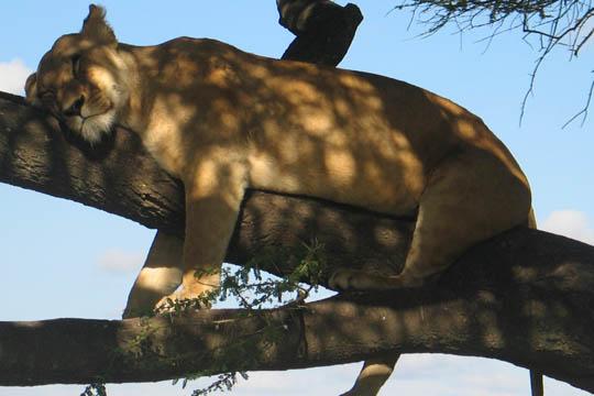 Slumbering Lion