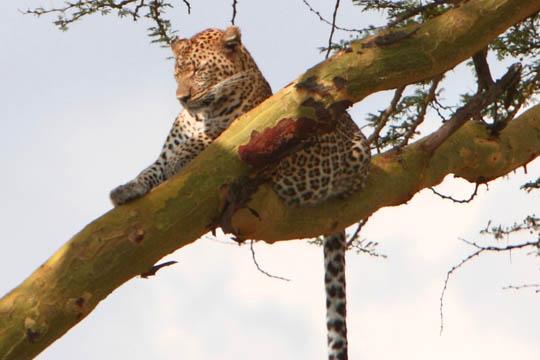 Leopard - June 2011