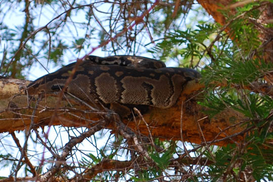 Is that a Python in a Tree?
