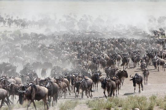 Wildebeest Migration Tanzania