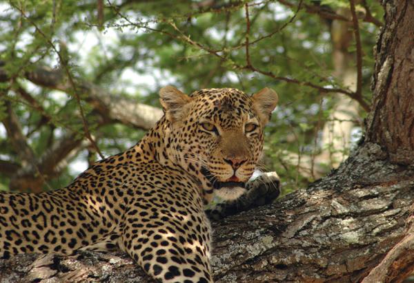 Leopard_Tarangire_1