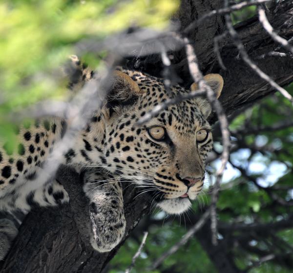 leopard_namibia_blog
