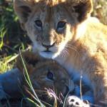 lion_057-150x150