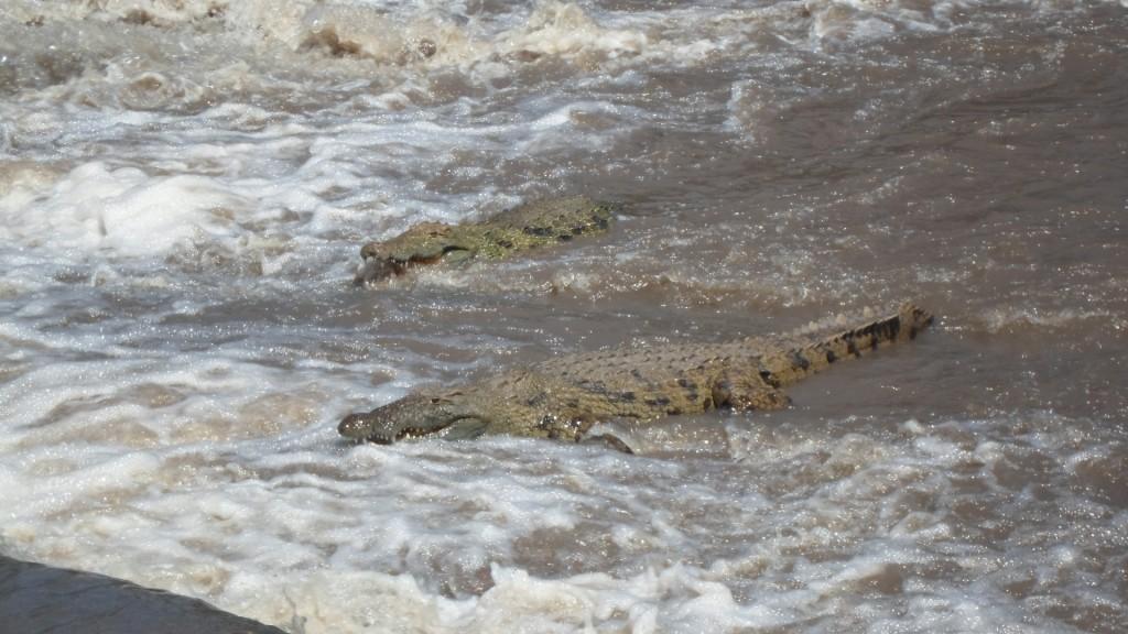 Crocs fishing at Grumeti River.