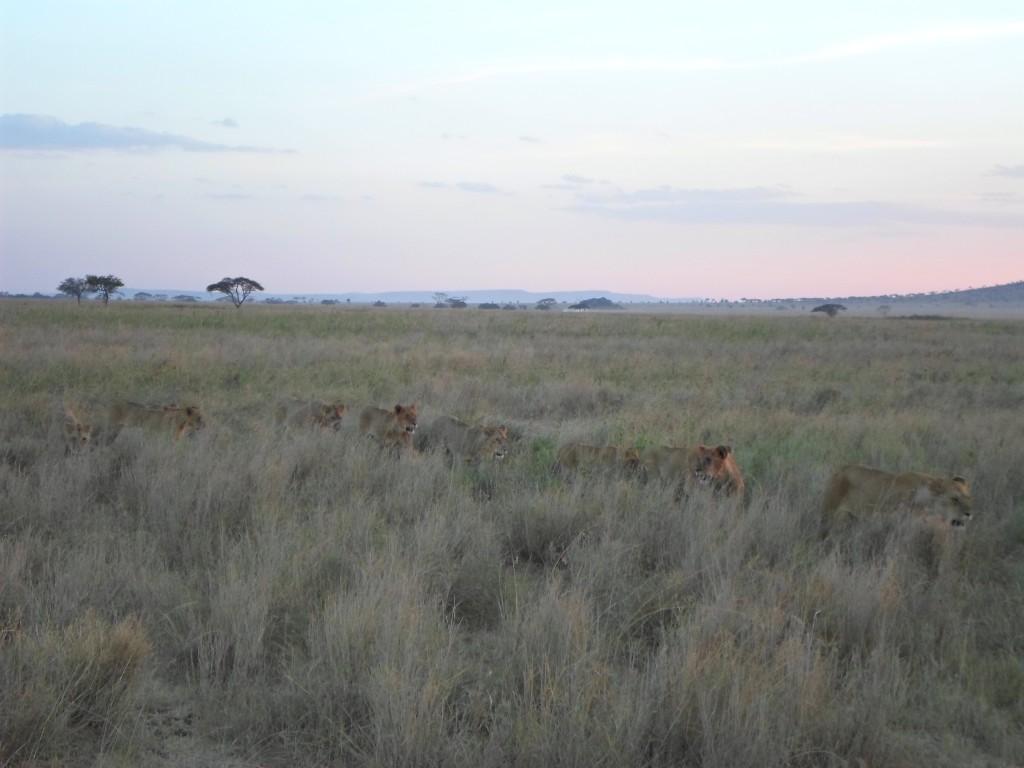 Lions at Seronera Valley.