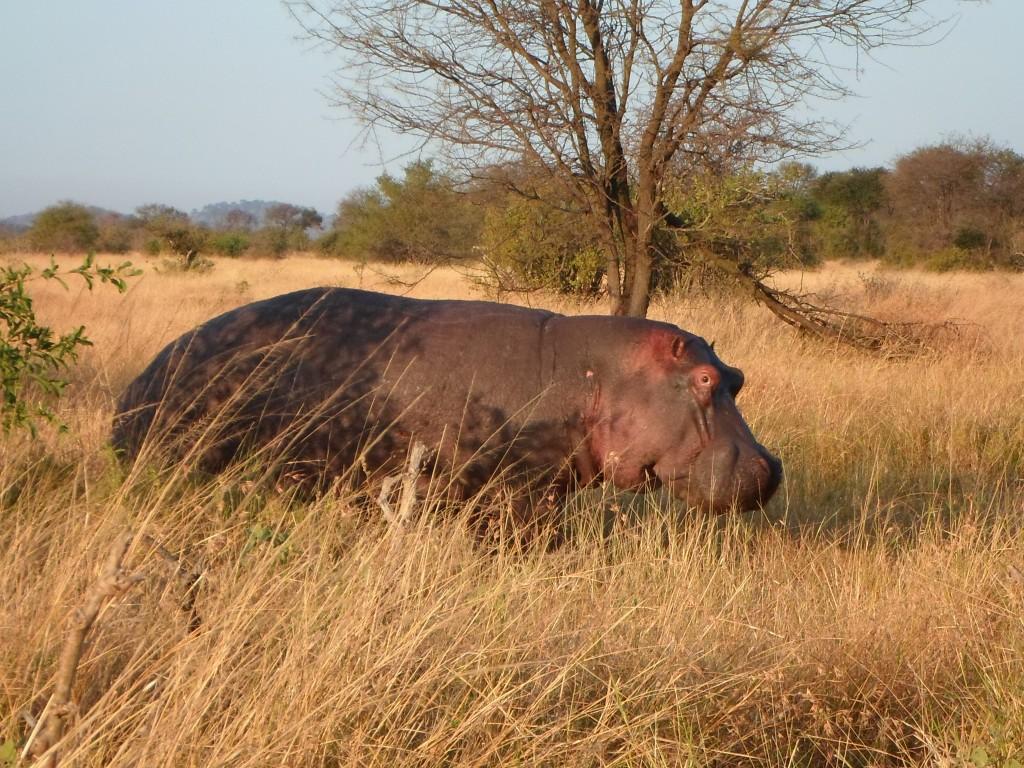 A huge hippo.