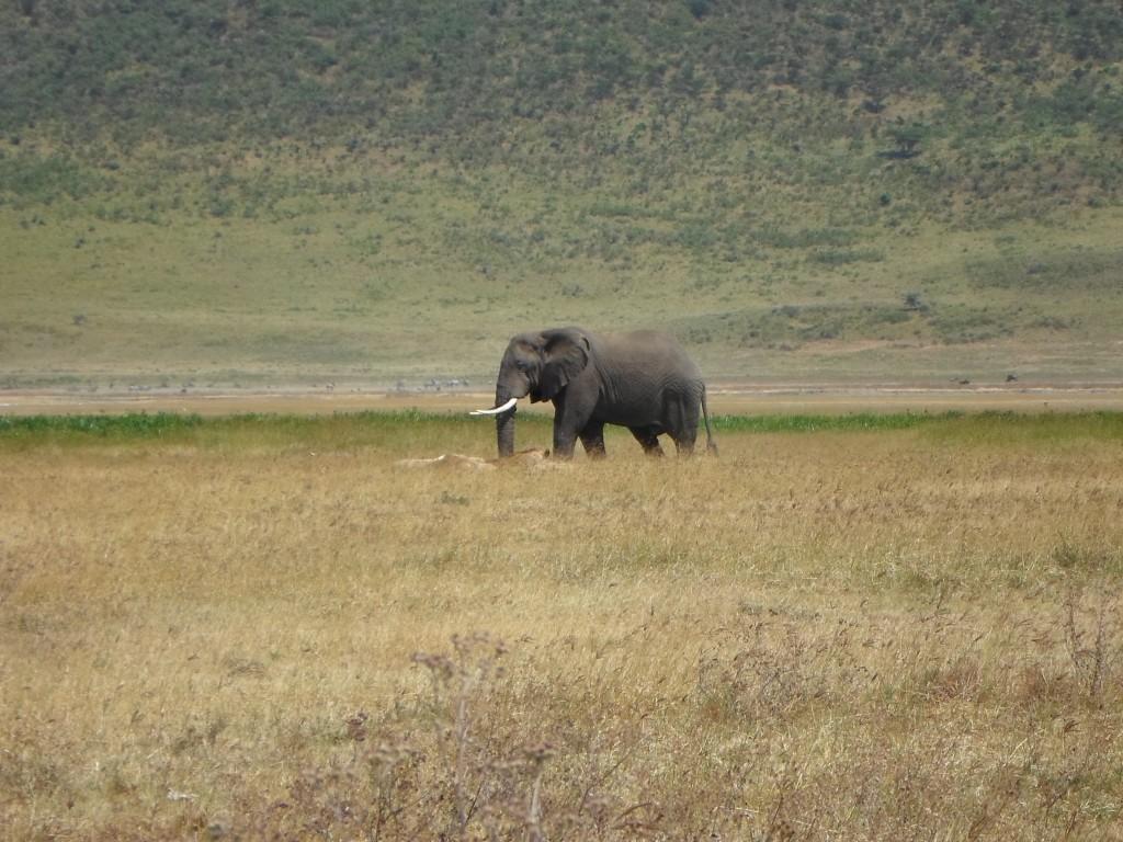 At Crater floor, a big bull elephant.