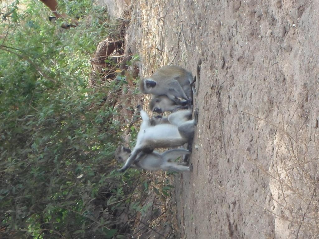 Monkey grooming at Lake Manyara National Park.