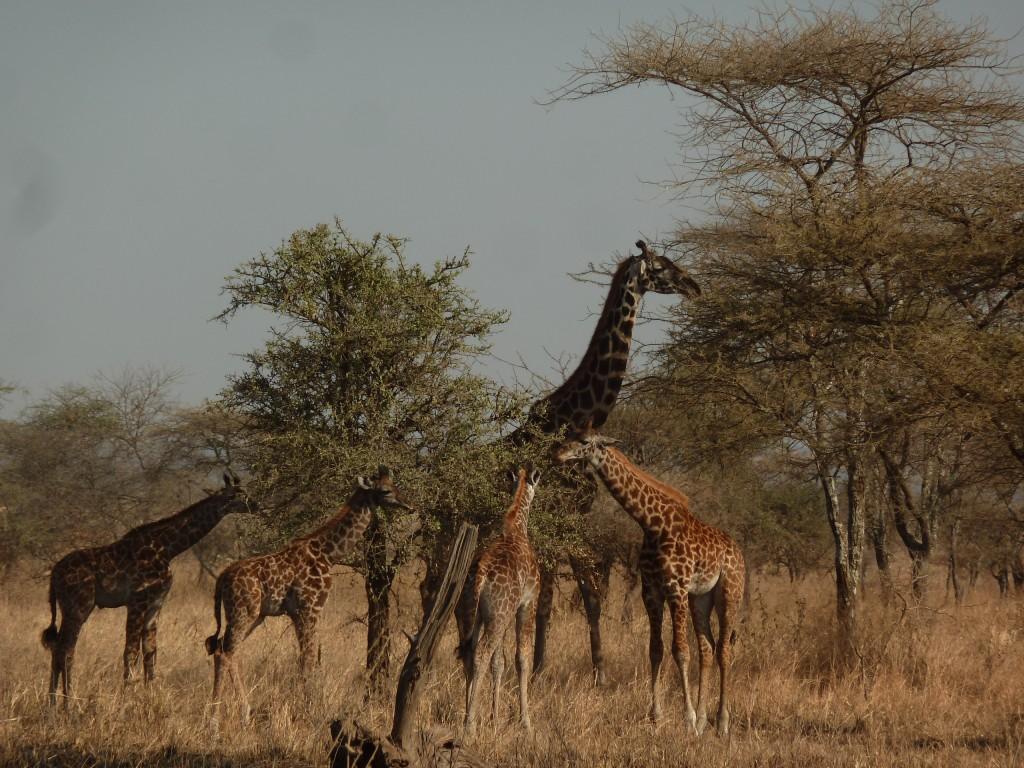 Giraffes brousing