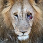 LionCLOSE