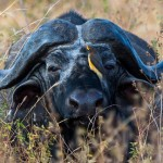 Buffalo with Oxpecker